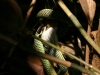 snake-eats-bat-thailand-pwsdesign-006